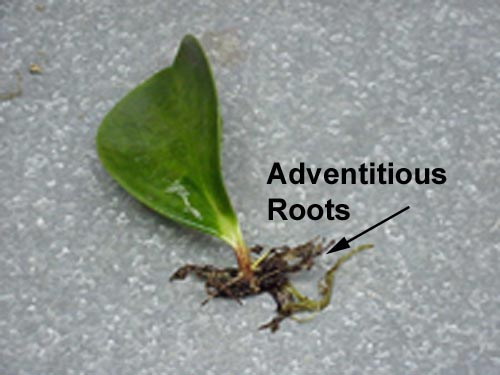 adventitious-root-peperomia