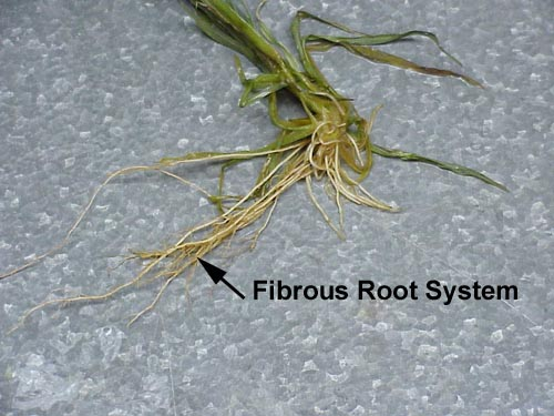 fibrous root systems Introduction knowledge of the depth and extent of plant root systems is   arizona fescue also had a fibrous root system, consisting of 290 individual roots.