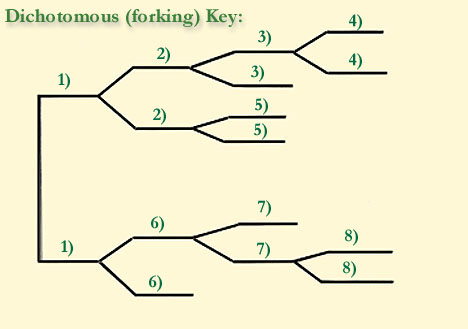 how to draw a dichotomous key